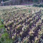 Alrededor de 2000 hectáreas de cultivos de maiz y papa fueron afectados por las heladas